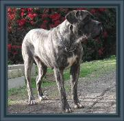 American Bullmastiff - Night Watchman's Bella