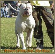 Bybee's White Guy; American Bulldog