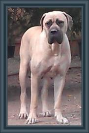 Night Watchman's Delilah; American Bullmastiff
