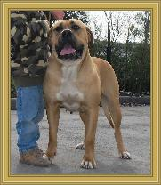 American Bullmastiff - Night Watchman's Duchess