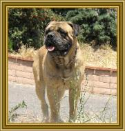 Bullmastiff - Night Watchman's Charlie