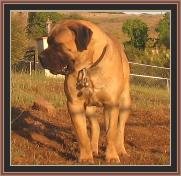 American Bullmastiff - Night Watchman's Kalu