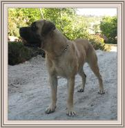 American Bullmastiff - Night Watchman's Lady